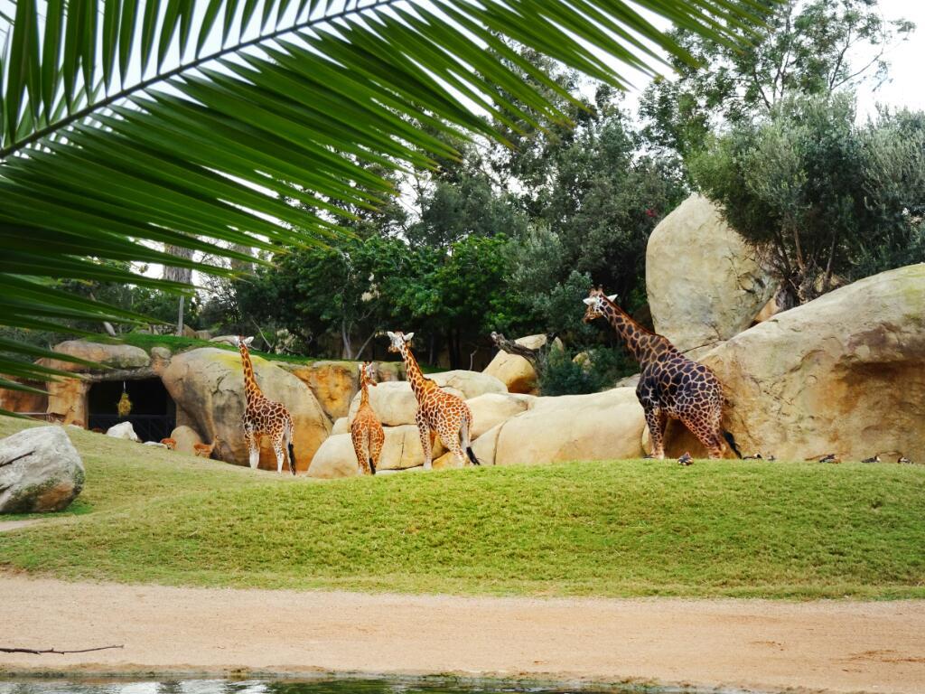 Giraffes at Valencia Bioparc