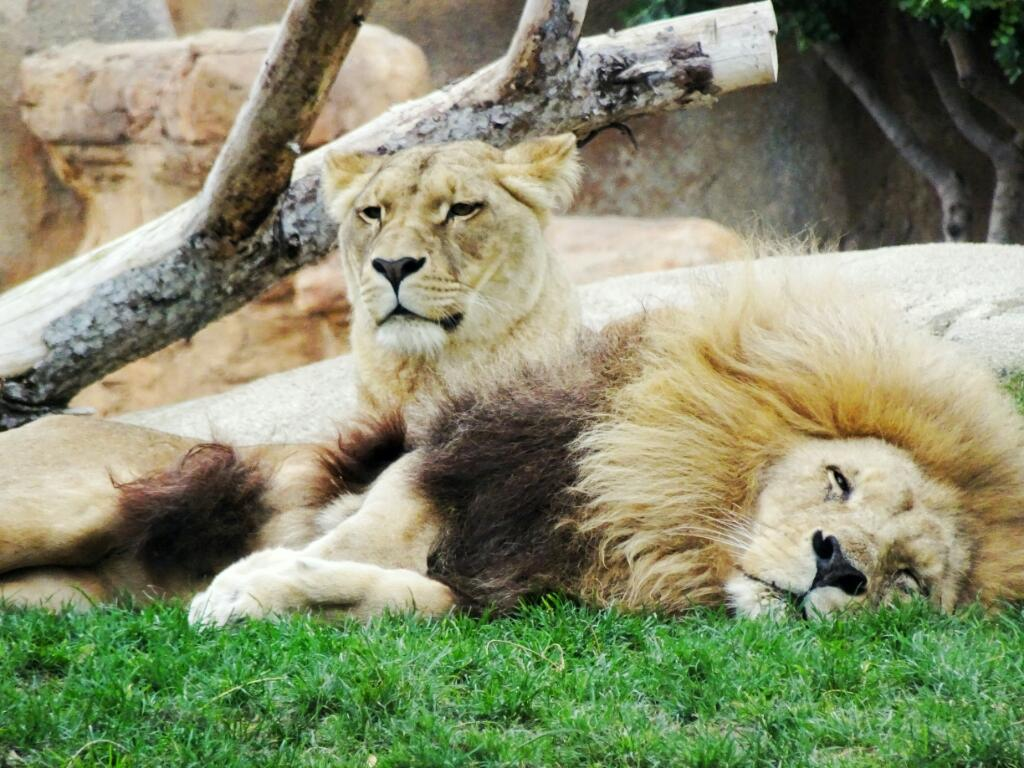 Lions at Bioparc Valencia