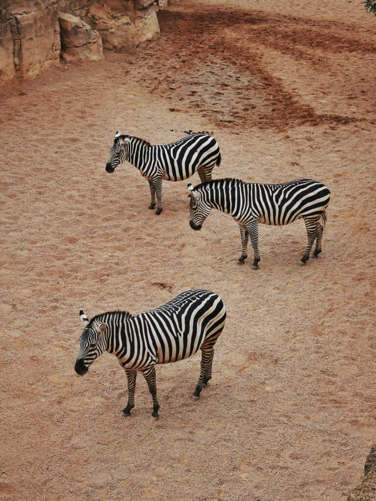 zebra at valencia bioparc